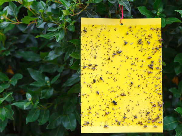 Are Yellow Sticky Traps an Effective Method for Control Pets&Insects in the Greenhouse?