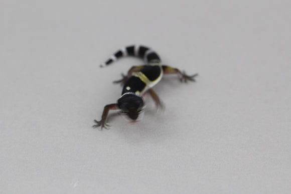 BOA CONSTRICTOR SHARP SUNGLOW  MACHO ID : 151