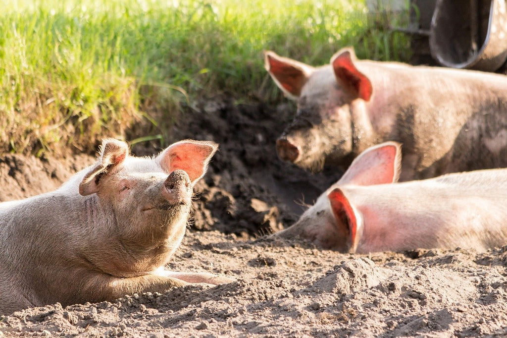pigs are smart and playful too