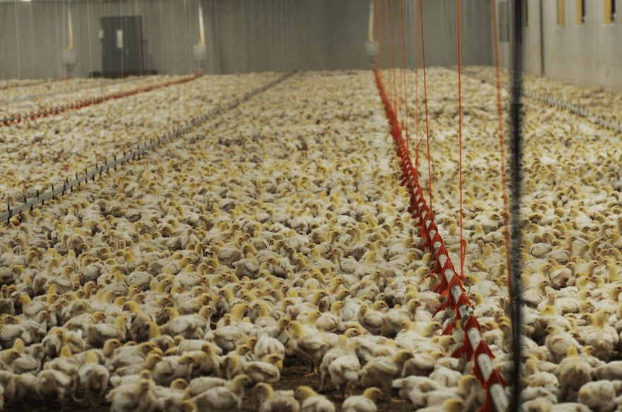 poultry farm crammed
