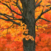 Zen Teaser Jigsaw Puzzle New England Maple Tree