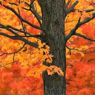 Zen Teaser Puzzle New England Maple Tree