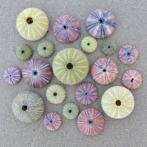 Zen Art & Design Zen Teaser Wooden Jigsaw Puzzle Sea Urchins available at The Good Life Boutique