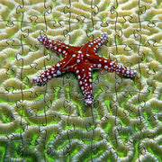 Zen Art & Design Zen Teaser Wooden Jigsaw Puzzle Starfish On Brain Coral available at The Good Life Boutique