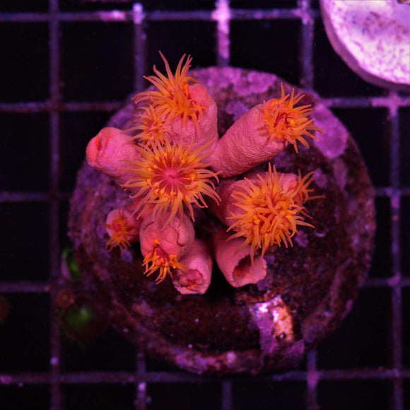 Reeflections Fish & Live Animals Trading Corals Coral 27