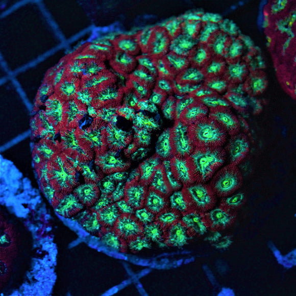 Reeflections Fish & Live Animals Trading Corals New Corals 24.01 - 94