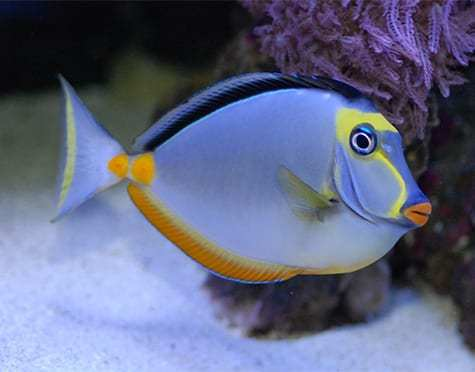 Reeflections Fish & Live Animals Trading Fish Lipstic Tang - Pacific (M)