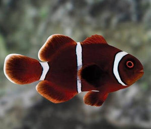 Reeflections Fish & Live Animals Trading Fish Maroon Clown - Pacific (S)