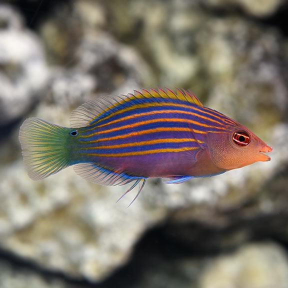 Reeflections Fish & Live Animals Trading Fish Six Line Wrasse