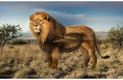 Wild Kingdom Lion Digital Panel  Q4494-259