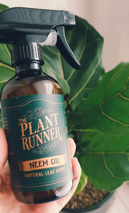 Neem Oil is a natural leaf shine, it helps keep foliage looking lush and dust free. Wiping down your plant's foliage on a regular basis removes dust that can limit the plant's ability to photosynthesize.