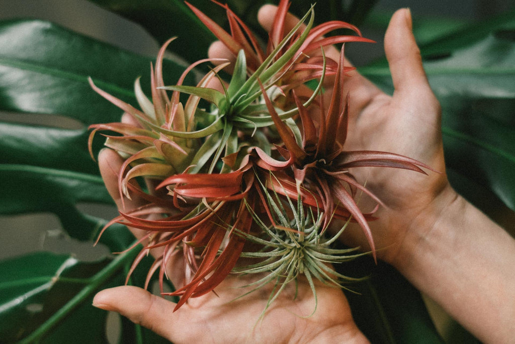 Tillandsia : Air Plant Care