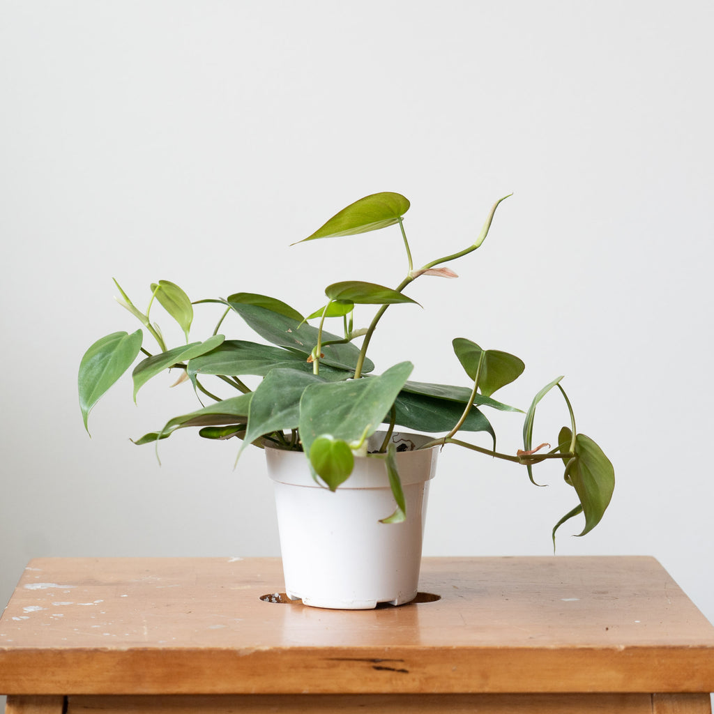 4'' Philodendron Cordatom Green