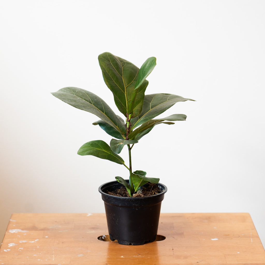 4'' Ficus Lyrata Fiddle Leaf Fig