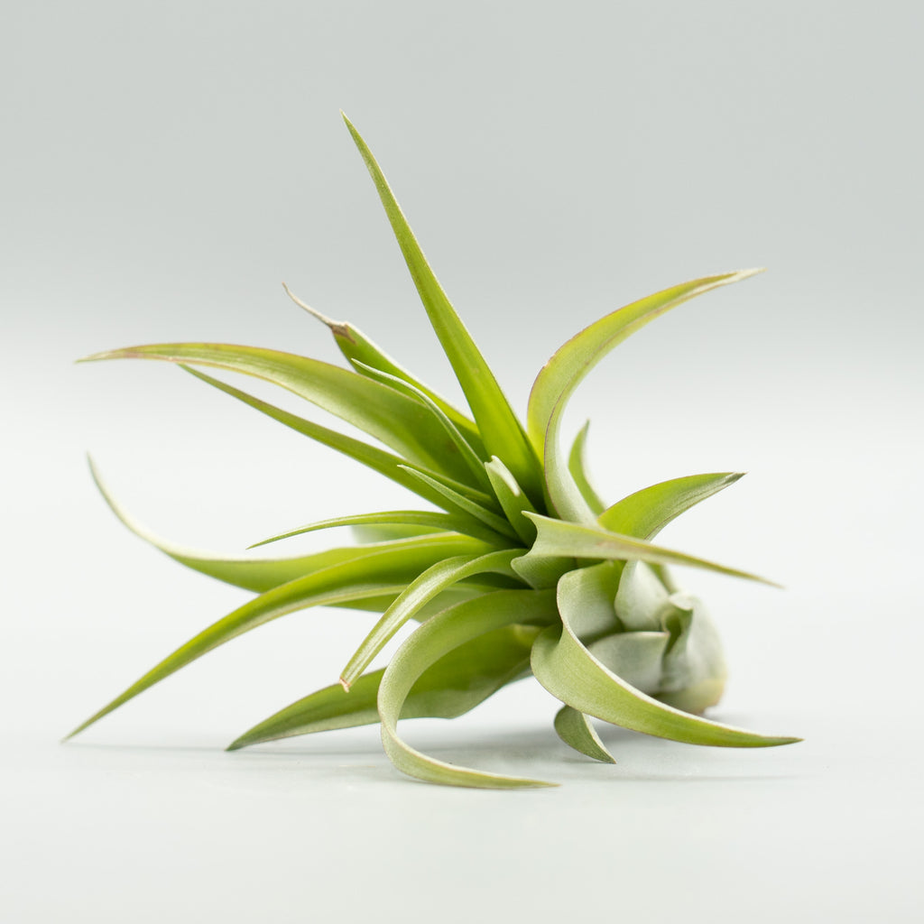 Air Plant: Green Abdita