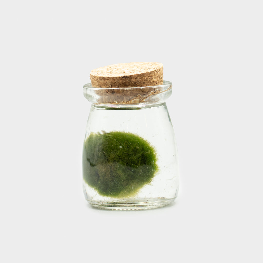 Marimo Ball In Jar