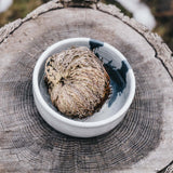 Rose Of Jericho, The Resurrection Plant