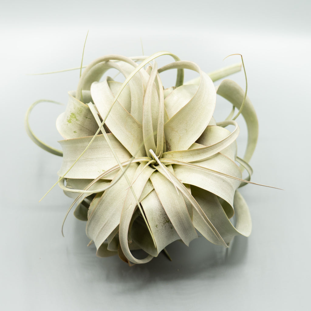 Air Plant: LARGE Xerographica