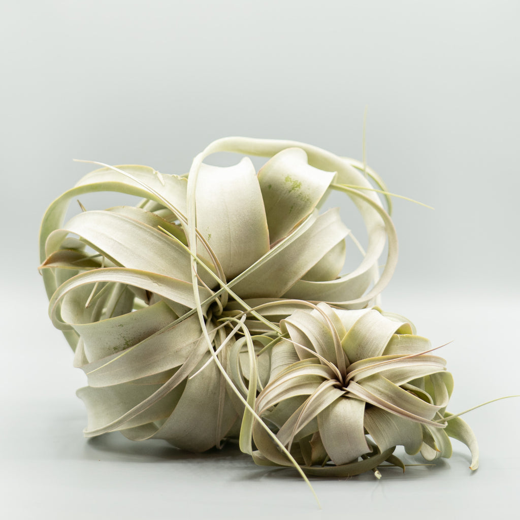 Air Plant: Seedling Xerographica