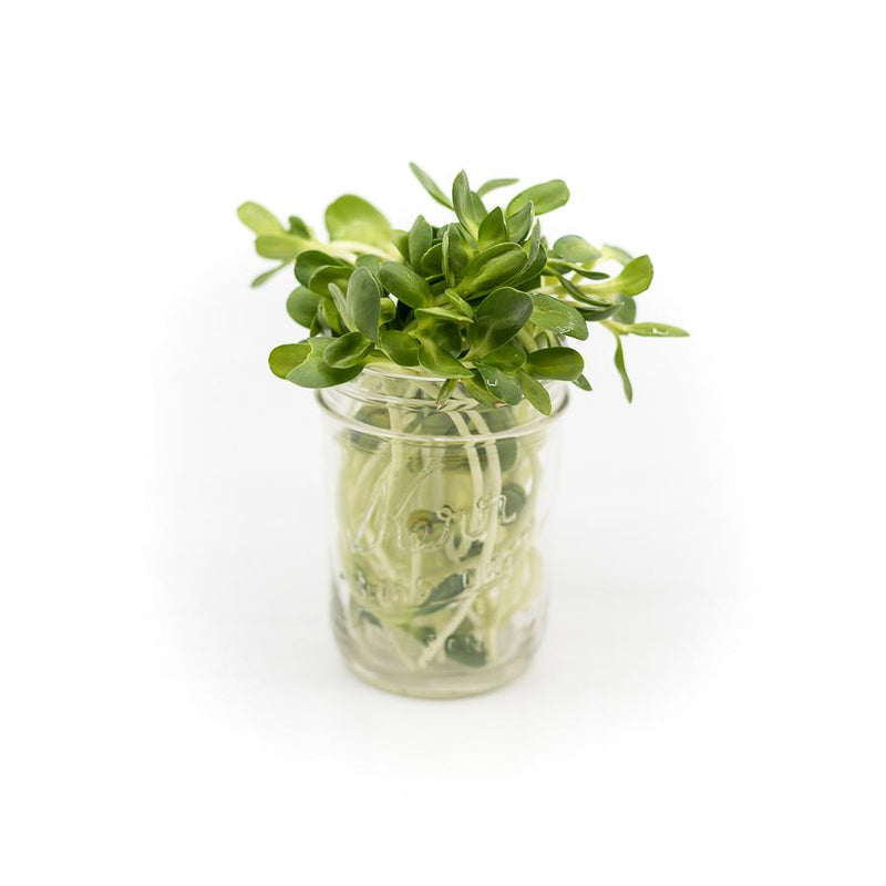 Fresh Wheatgrass & Micro-Greens – Delivered