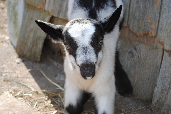 Black White Baby Goat