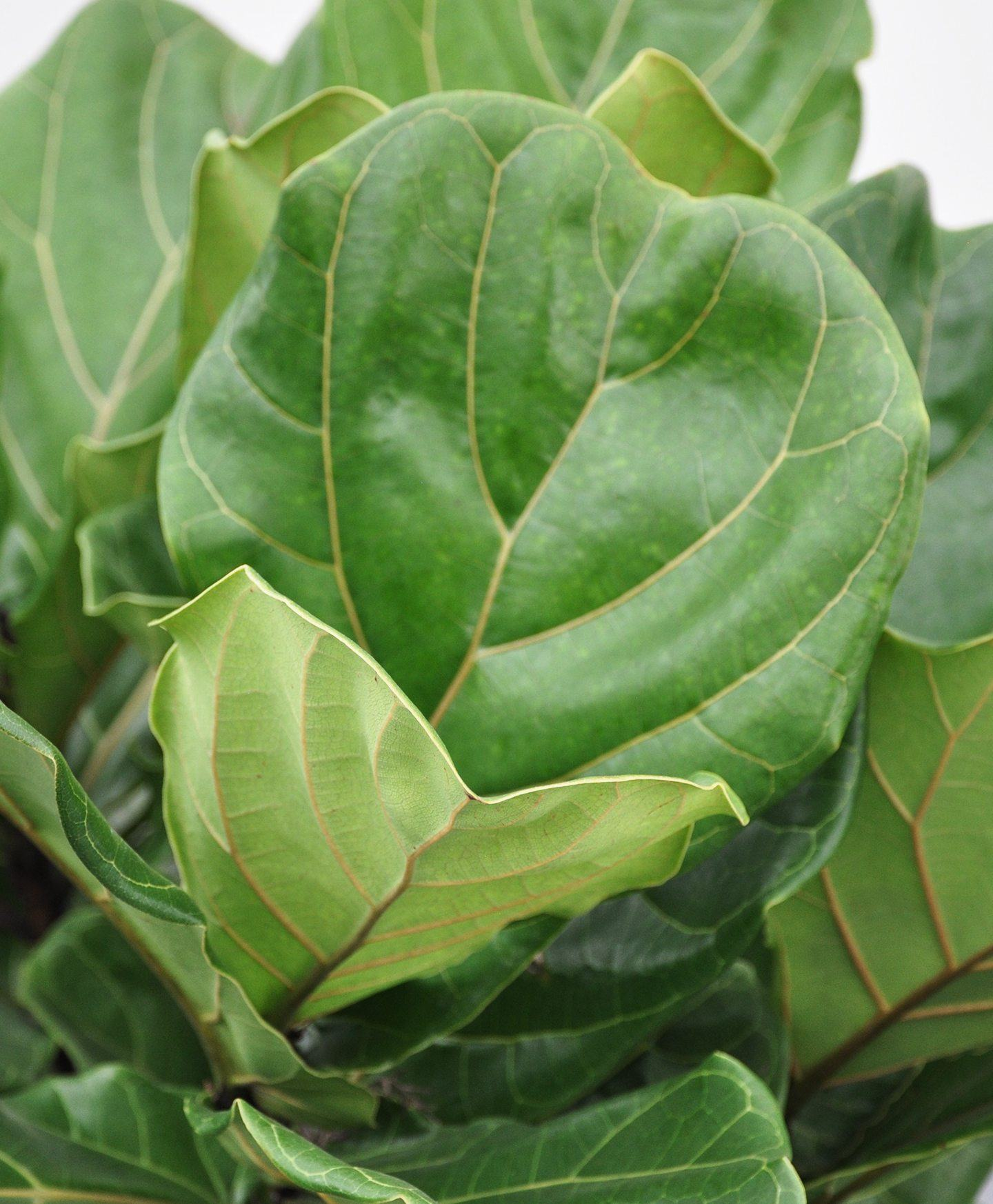 FIDDLE LEAF FIG Plant Care
