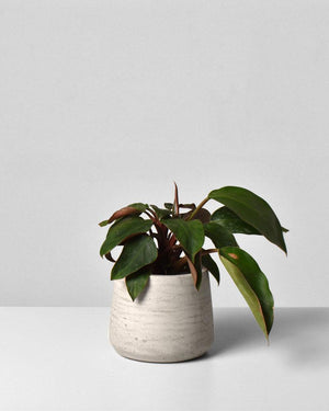 Philodendron Red Back