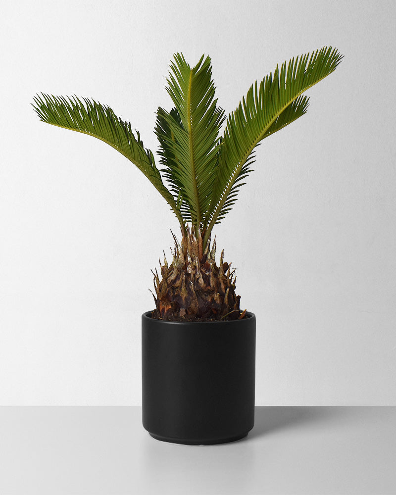 King Sago Palm
