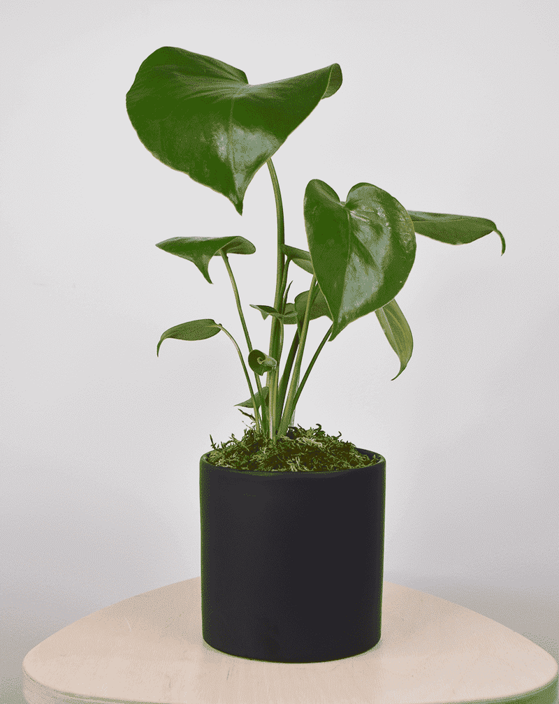 Small Mystery Replacement Plant - PET FRIENDLY