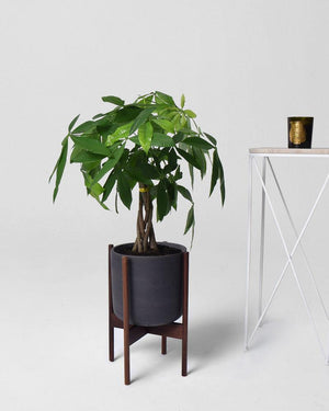 Braided Money Tree - Modern Garden