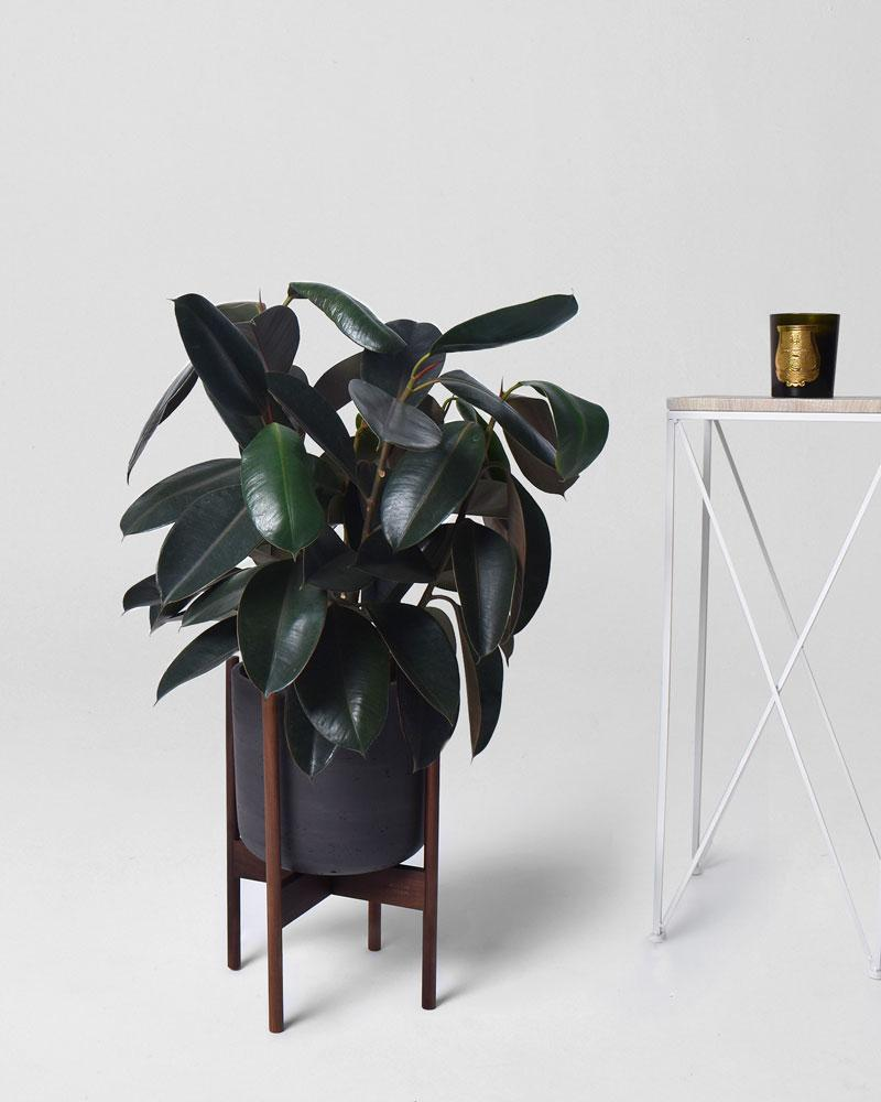 Rubber Tree - Modern Garden