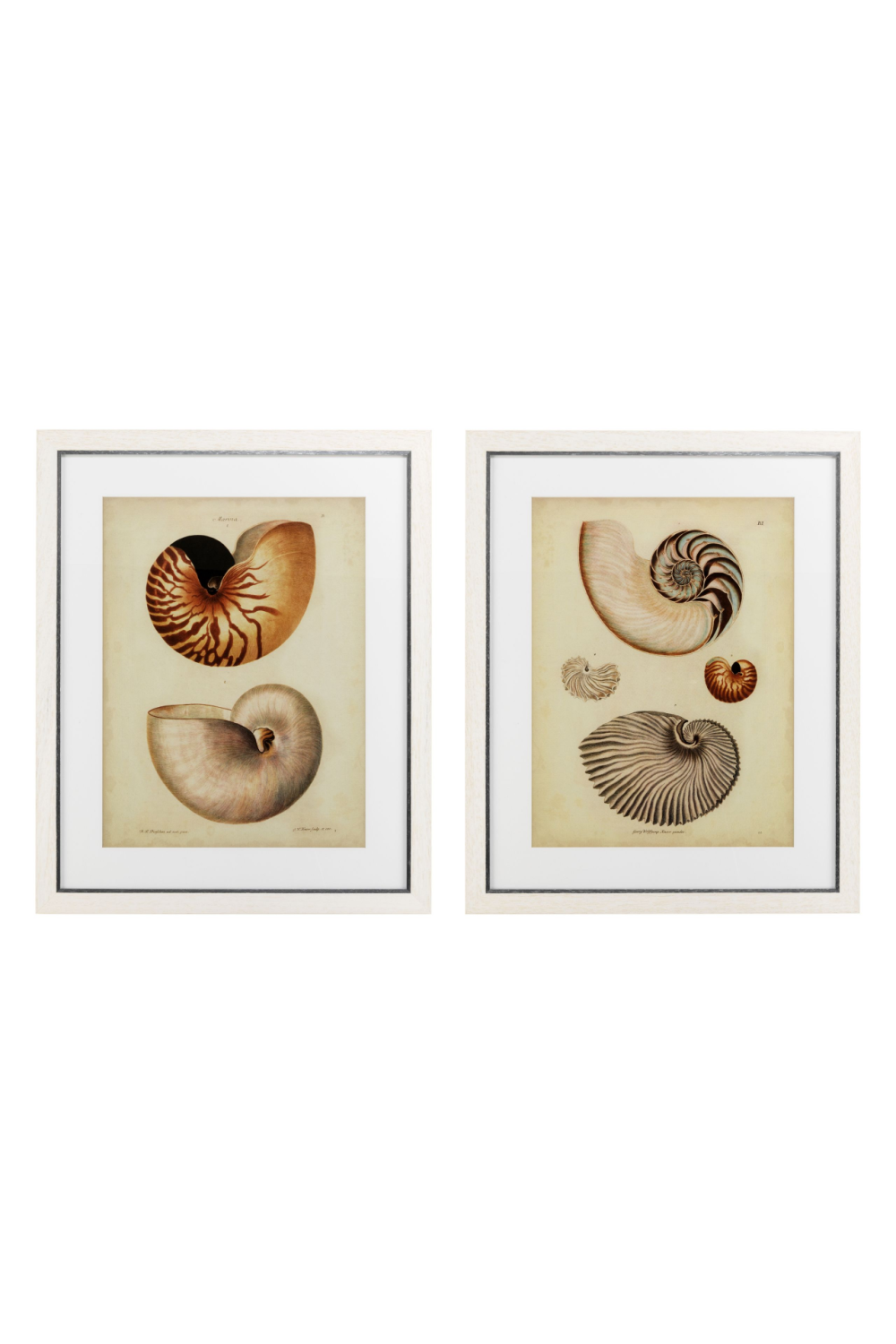 Sea Shell Prints (set of 2) | Eichholtz Nautilus | Woodfurniture.com