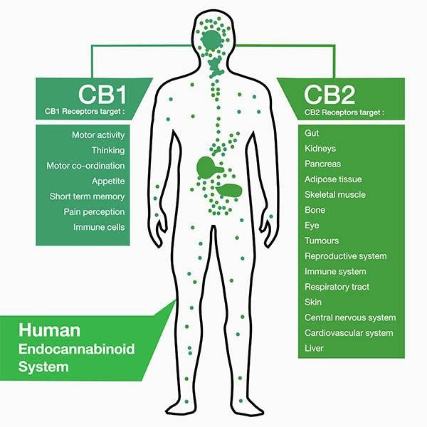 The Endocannabinoid system and CBD - an introduction to how CBD works