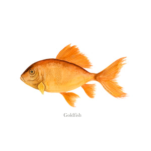 Goldfish Scientific Illustration