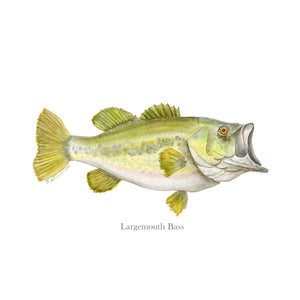 Largemouth Bass Illustration Print