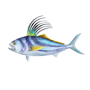 Roosterfish Scientific Illustration