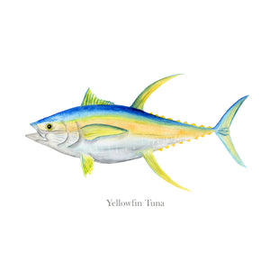 Yellowfin Tuna Scientific Illustration