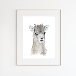 Baby Big Horn Sheep Portrait