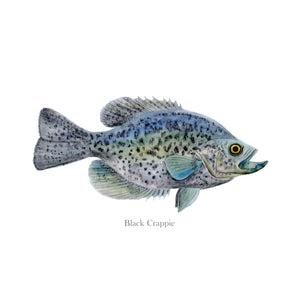 Black Crappie Wall Art