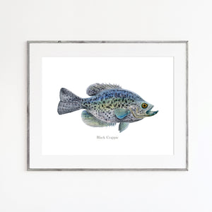 Black Crappie Watercolor Print