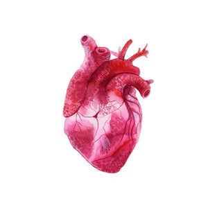 Human Heart Scientific Illustration
