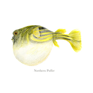 Northern Puffer Fish Watercolor