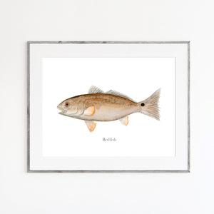 Redfish Watercolor Print