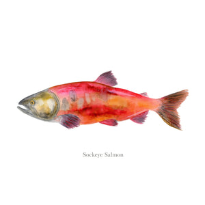 Sockeye Salmon Watercolor Fish Print