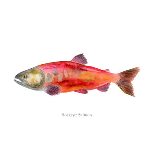 Red Sockeye Salmon Portrait with text