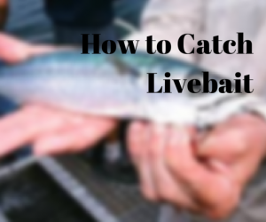 Catching Live Baits