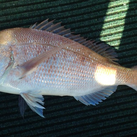 Angry Winter Snapper.