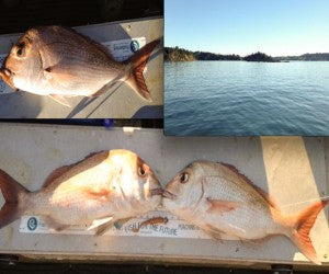 Good Snapper Off Ponui