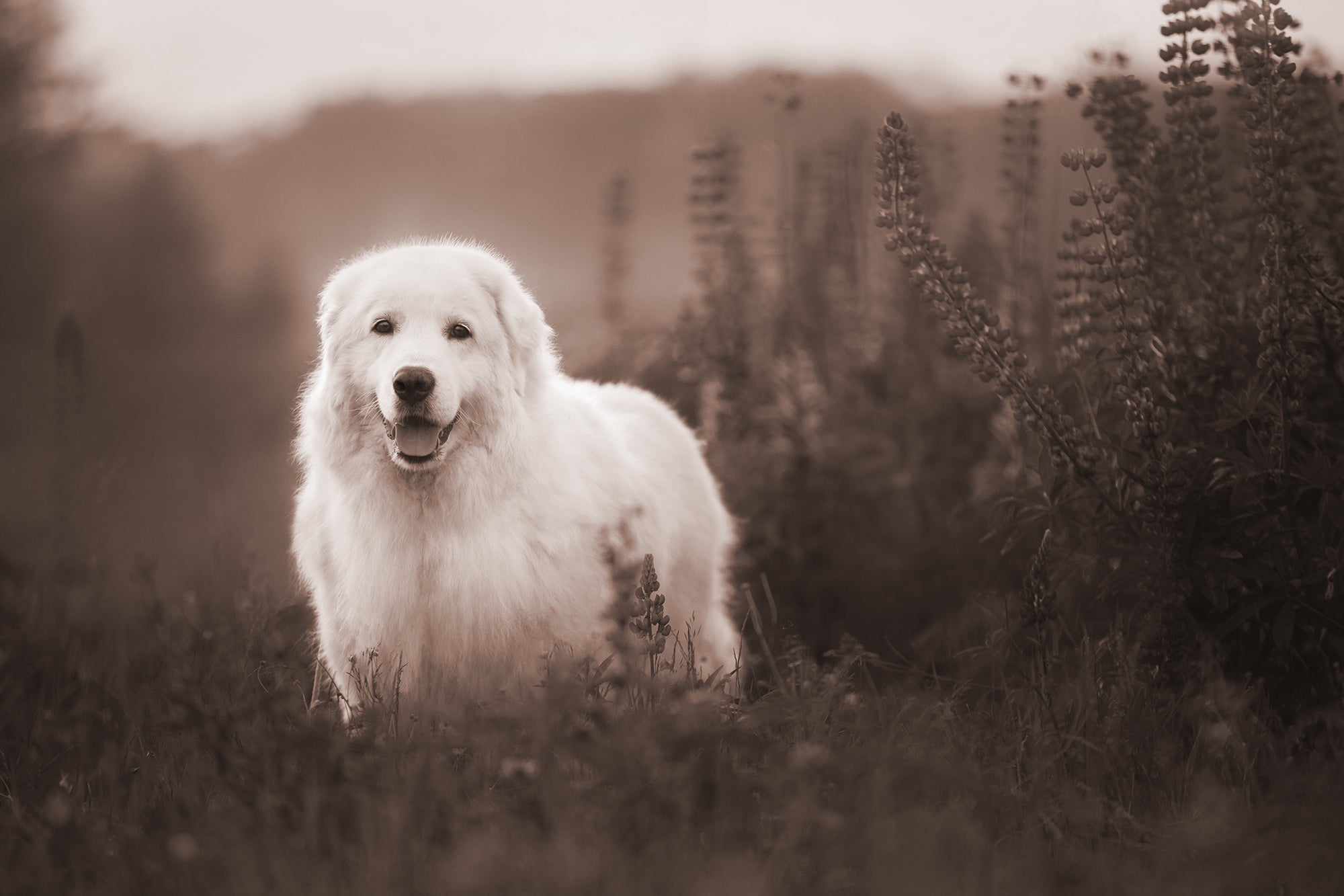Great Pyrenees Working Dog in Field