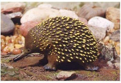 Animals Of Australia Echidna